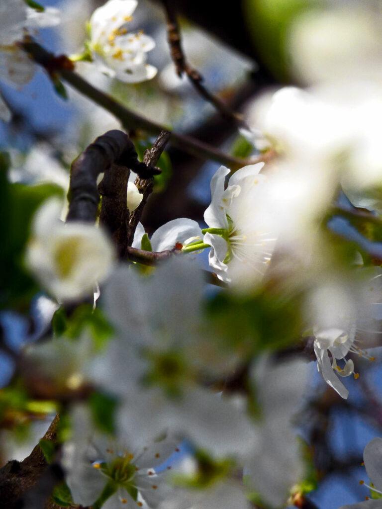 Im Zwetschgenbaum