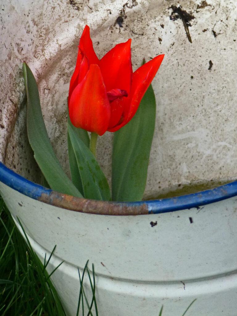 Rote Tulpe im Regenwasser