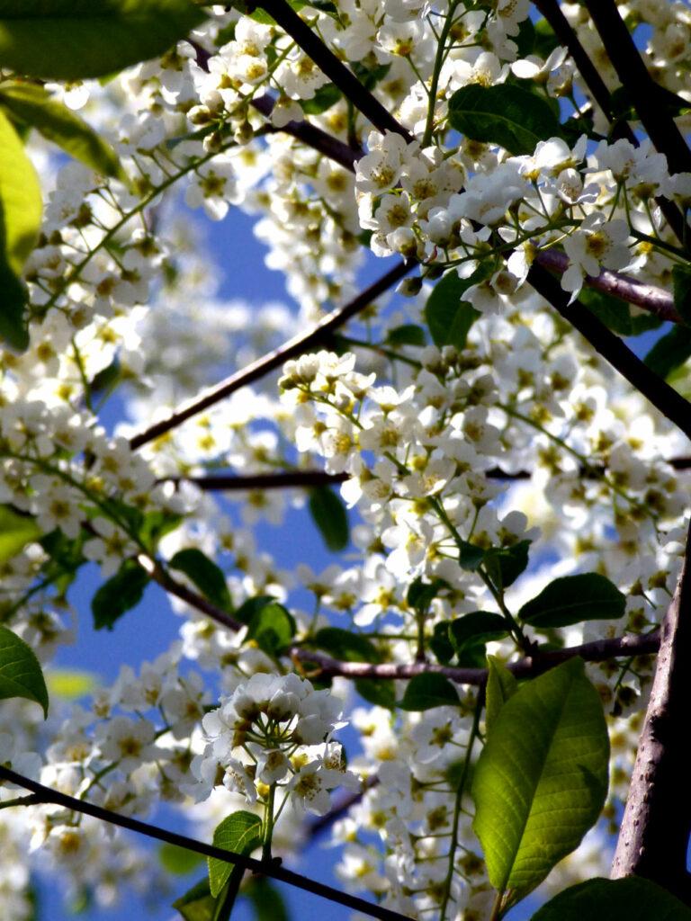 Die Traubenkirsche in voller Blüte