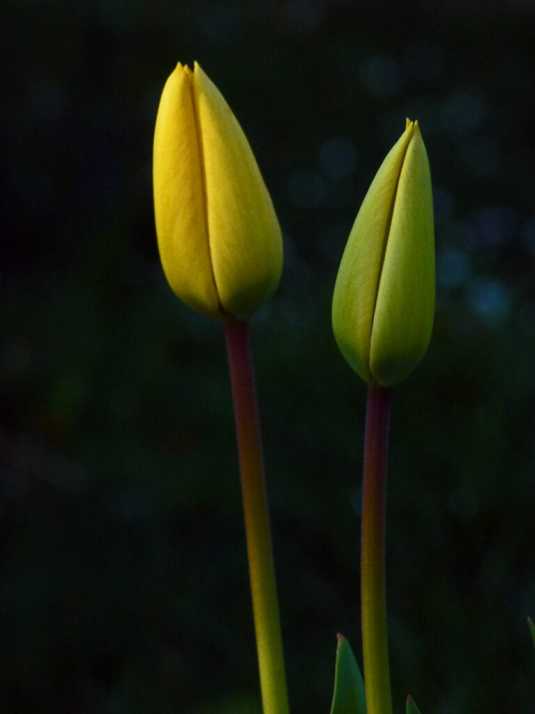 Gelbe Tulpen, Fotografie 2014