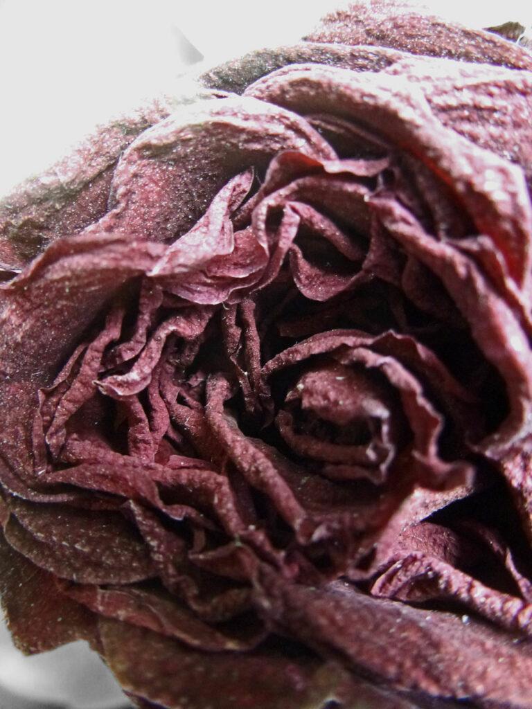 Verblühte, trockene Rose