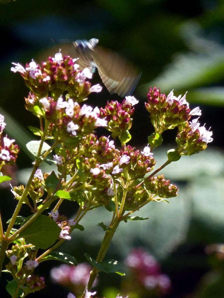 Faulbaum-Bläuling (Celastrina argiolus) an unserem wilden Oregano (Origanum vulgare)