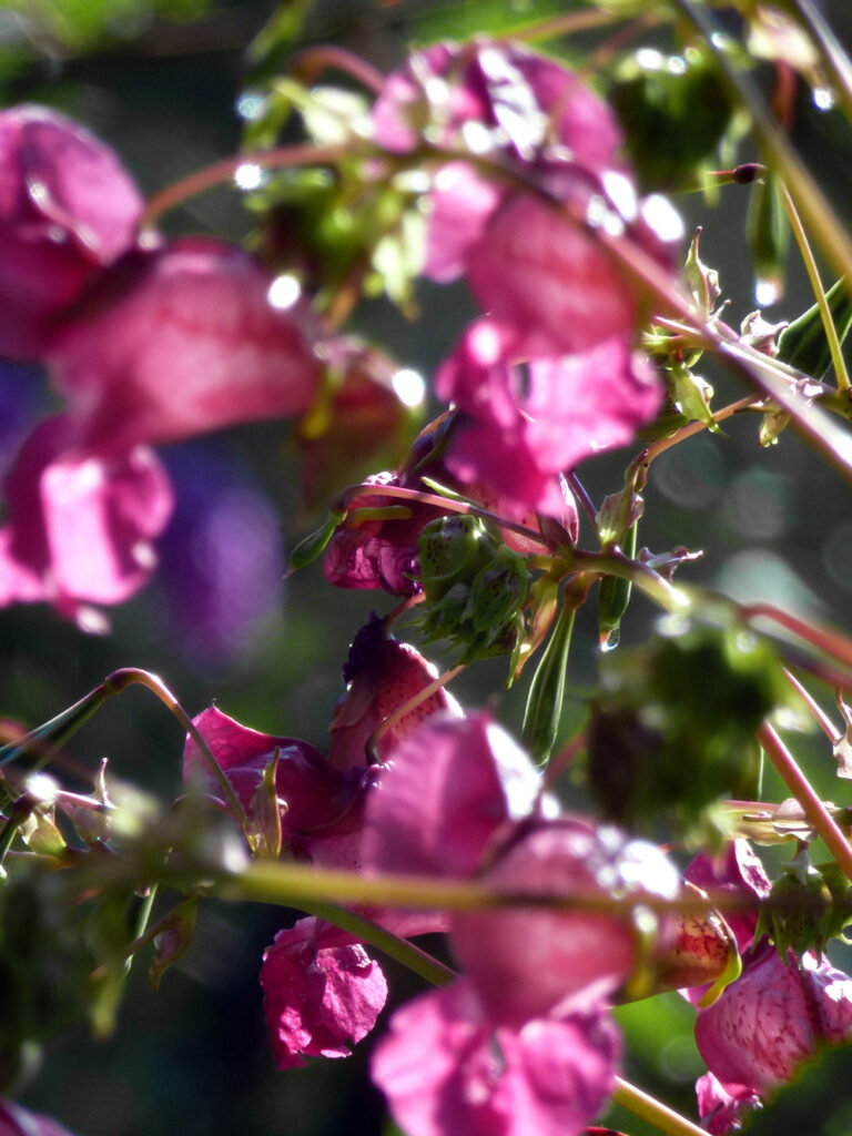Indisches Springkraut - Impatiens glandulifera